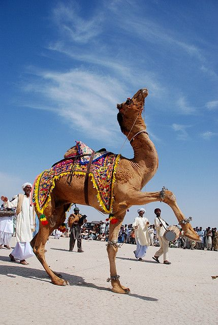Camel Dance - Punjab, Pakistan ~ another life stolen into the slave trade.