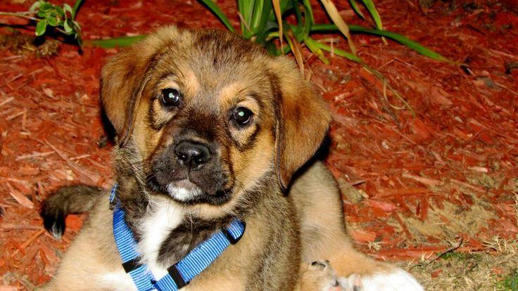Rottweiler Mix German Shepherd Puppies Max- great Pyrenees an...