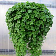 Opknoping Dichondra Zaden Bonsai Zaden Tuin Planten Bloem Zaden Jaarlijkse Kruid 100 Deeltjes L075(China (Mainland))