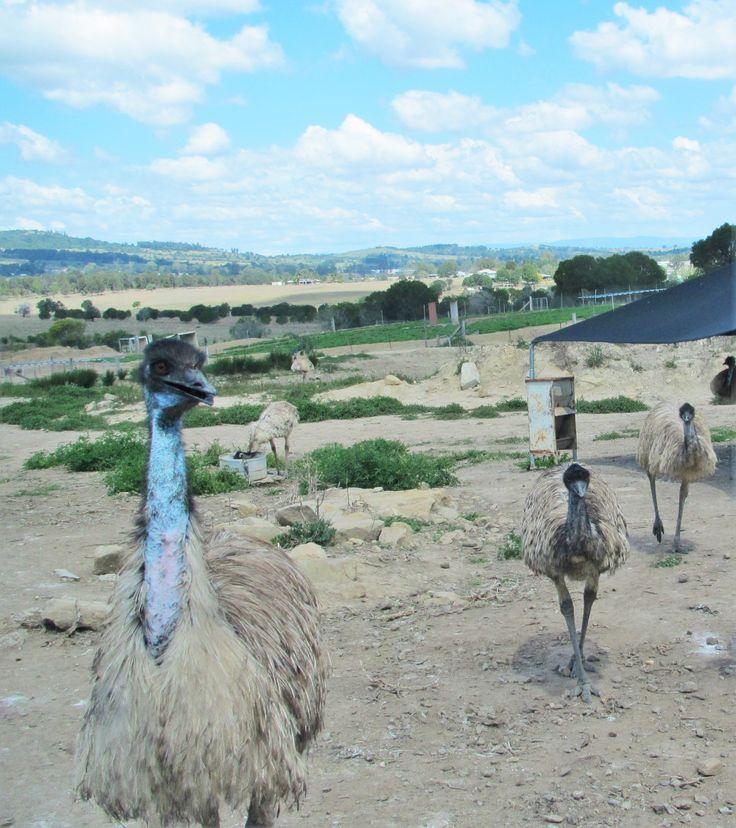 Emu Farm at Marburg