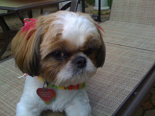 shih tzu short hair styles 32 best lhasa apso dogs images on animales 7037 | 2d31d8a017aad11e9a164b6d5438eb46 dog haircuts grooming dogs