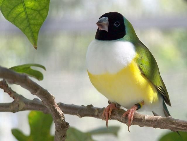 Gouldian finch (Erythrura gouldiae) has many aliases: Lady Gould, Gouldian, Rainbow Finch, Rainbow Bird, Gouldies, Wondrous Finch, Gouldian Grassfinch, Purple-breasted Finch, Purple-chested Finch, Desert Parrotfinch