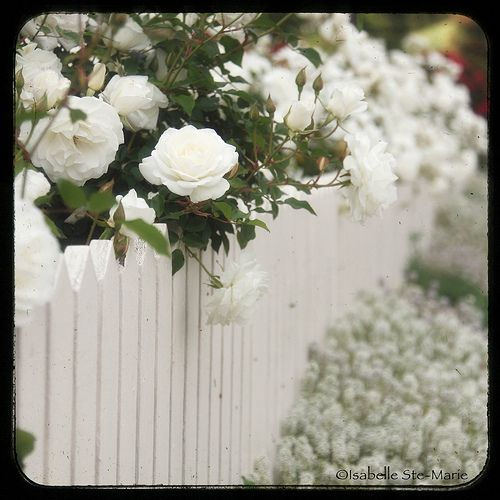 Dream cottage with white roses on a white picket fence.  I'm not so into the white picket fences -but I Really Like this idea!