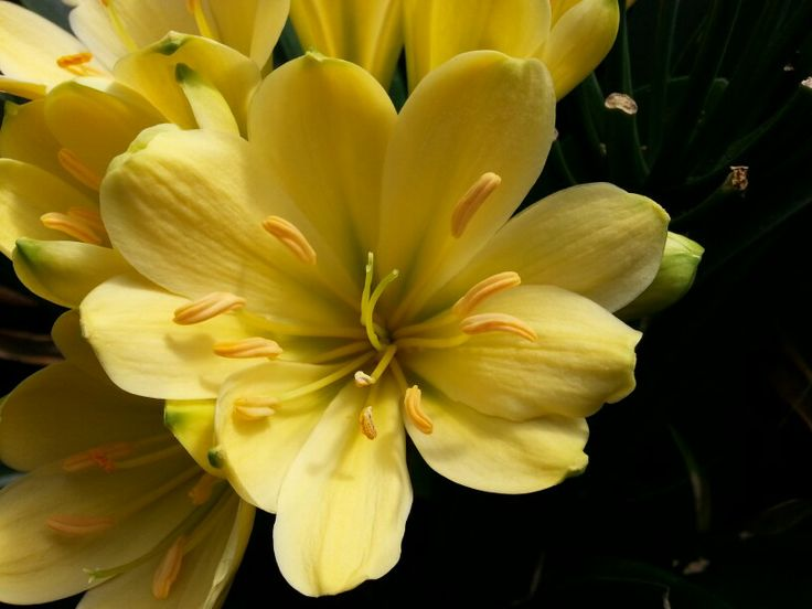 Clivia MP Green Yellow by Victor Murillo   http://vicsclivia.tumblr.com/post/86331012457/clivias-by-victor-murillo