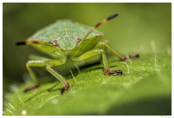 green giant   |  le géant vert - The green shield bug is a shield bug of the…