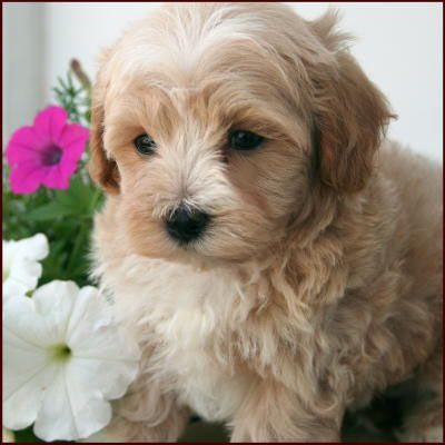 Best 20 miniature cockapoo ideas on pinterest no signup for Really cute houses