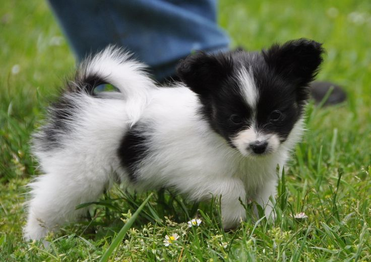 Papillon+Dogs+and+Puppies | Road's End -Papillons - Phalenes: Available Papillon Puppies