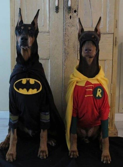 Batman and Robin! I wish people would stop cropping Doberman's ears and docking tails, though. They look much nicer when they're natural (and in costume)!