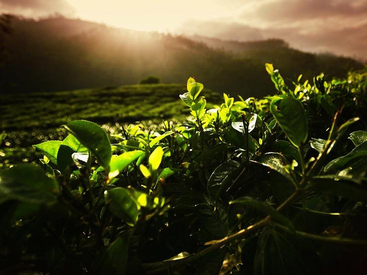 "~ by Photographer Izabela Urbaniak at ""Tea in the First Sense"" Gallery - http://teainthefirstsense.dilmahtea.com"