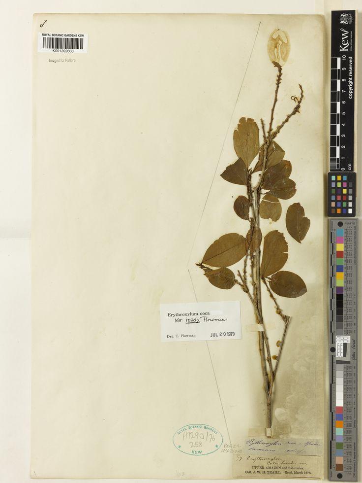 SpecimenK001202660 Current nameErythroxylum coca var. ipadu Collector & no:Trail, J.W.H.       77