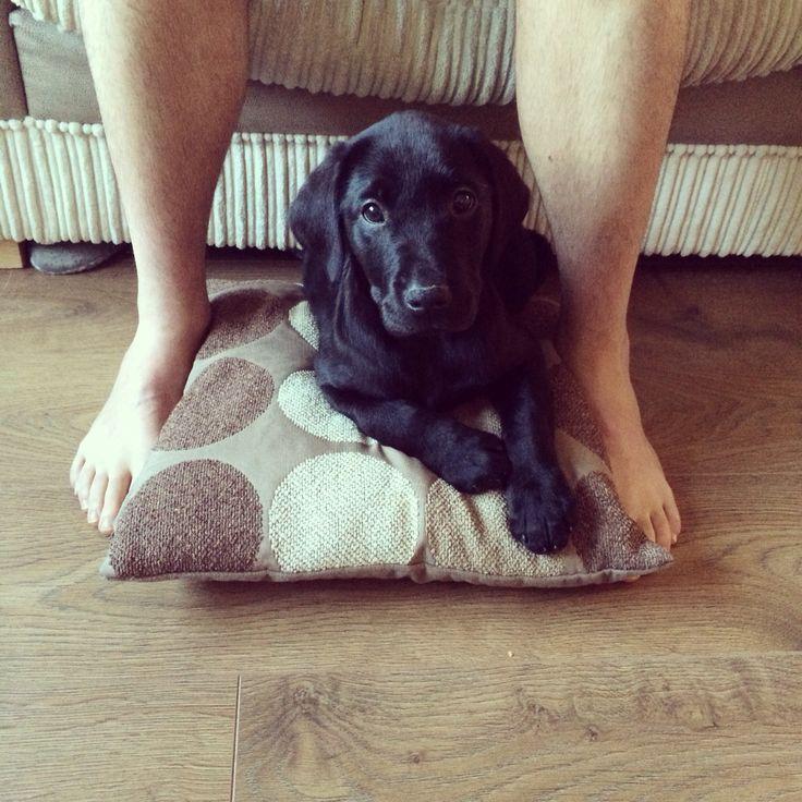 Alfie the springador - First day at his forever home #alfie #springador #pup #puppy #cutie