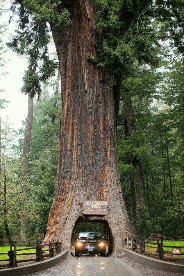The Chandelier Tree in Drive-Thru Tree Park-276ft (84 m) tall coast redwood tree in Leggett, California. Tap the link now and find your perfect travel gift! Plus, enjoy your FREE Shipping! :)