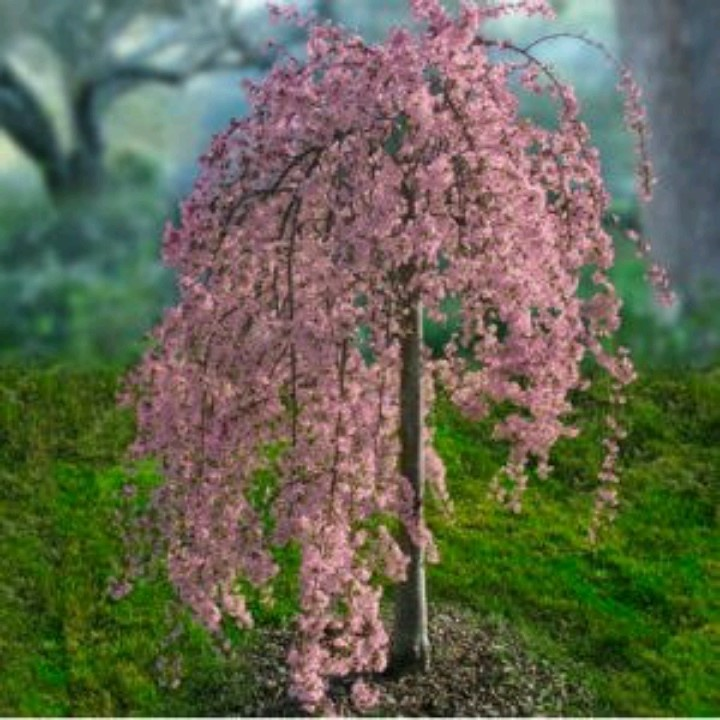 PINK WEEPING CHERRY TREE. Absolutely gorgeous! Really makes a statement in the spring landscape!