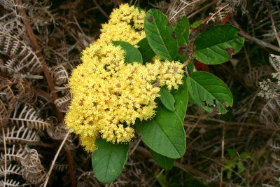 Kūmarahou    Most medicinal uses of kūmarahou were recorded in the 1900s.    The leaves were boiled and used as a soothing and healing agent.  The juice of the leaves was also used in baths.  Drinking the liquid in which leaves had been boiled was said to be good for rheumatism and asthma.