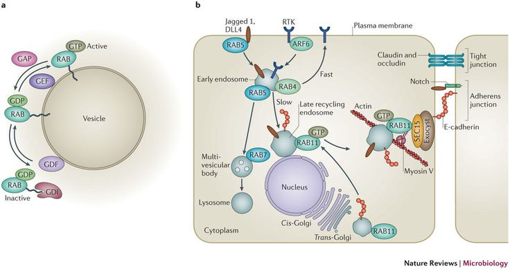 RAB-mediated endocytic recycling.