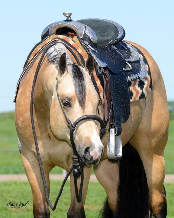 Potentially Lazy- 2011 AQHA Stallion by Lazy Loper.