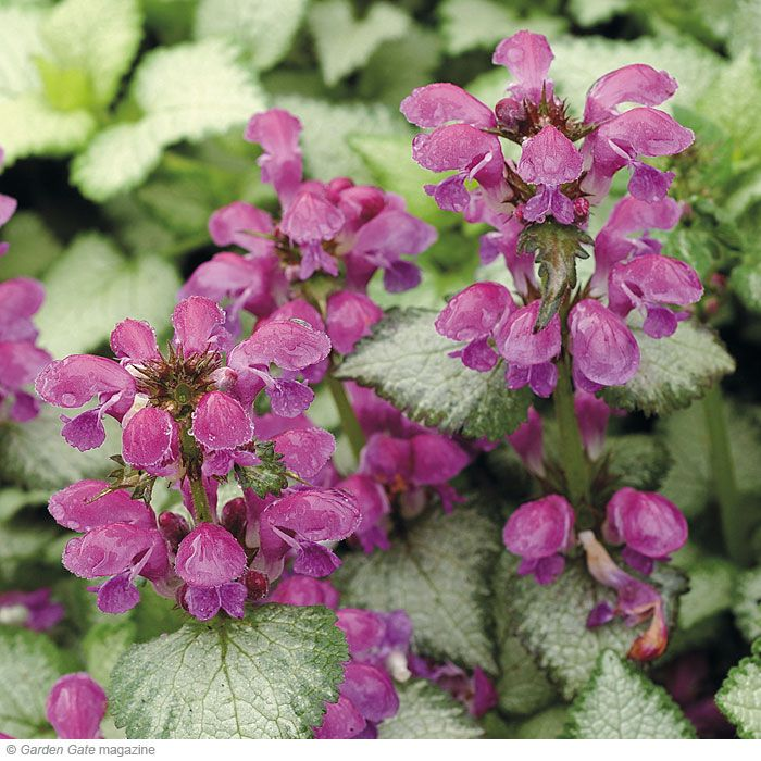 Spotted deadnettle pops out and enlivens any area. And on top of being deer- and rabbit-resistant and drought-tolerant, it's a weed-smothering ground cover. Shade plant...