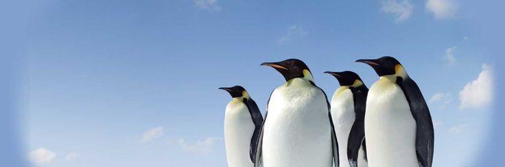 Pingüinos emperador (Aptenodytes forsteri)