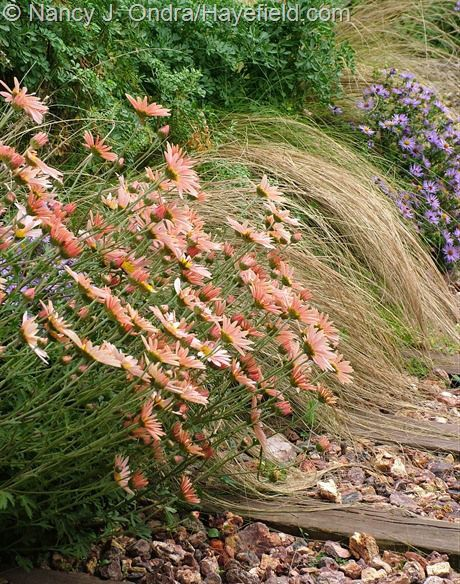 Chrysanthemum 'Sheffield Pink' with aromatic aster (Symphyotrichum oblongifolium), Mexican feather grass (Stipa tenuissima), and 'Harlequin' rue (Ruta graveolens) at Hayefield