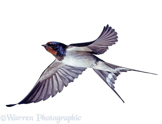 rustica) bringing food to the nest. Warren Photograph