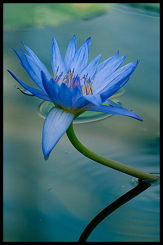 best blue lotus images on, Beautiful flower