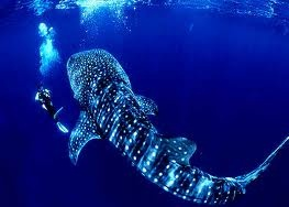 Fancy the chance of swimming with whale sharks.... LUX* Maldives is one of the few places in the world that whale sharks can be found year round.  Would you swim with Sharks?