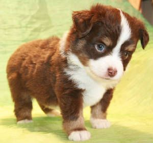 White And Brown Australian Shepherd 11 best images about a...
