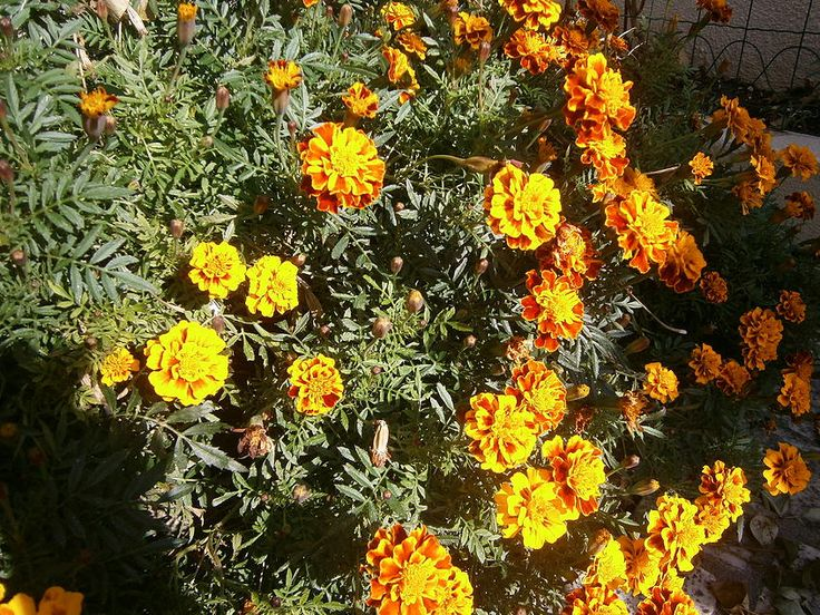 French Marigolds (Tagetes Patula)
