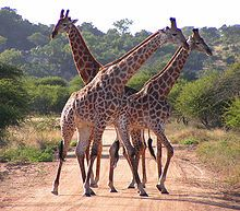 South African giraffe   (rounded or blotched spots, some with star-like extensions on a light tan background, running down to the hooves)