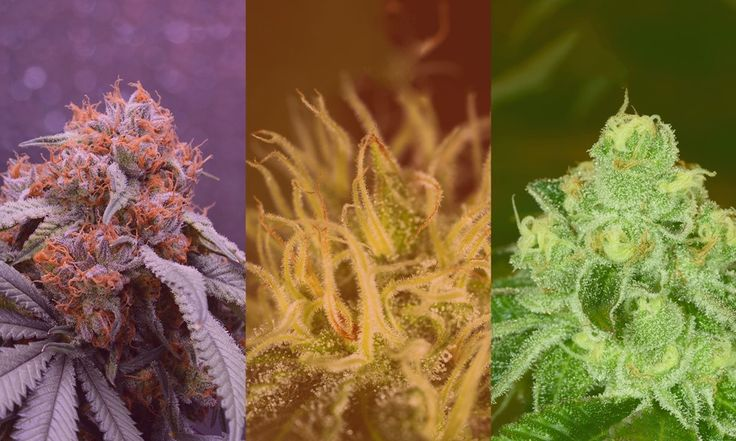 What's the difference between sativa, indica, and hybrid cannabis strains? This guide is meant to familiarize you with marijuana types and their commonly overlooked nuances.