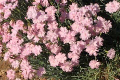 Dianthus Plumarius, Pink Carnation