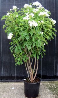 The Plumeria Pudica usually has one or two slender trunks that branch close to the ground forming a dense slightly spreading crown. Description from sunshinetropical.com. I searched for this on bing.com/images
