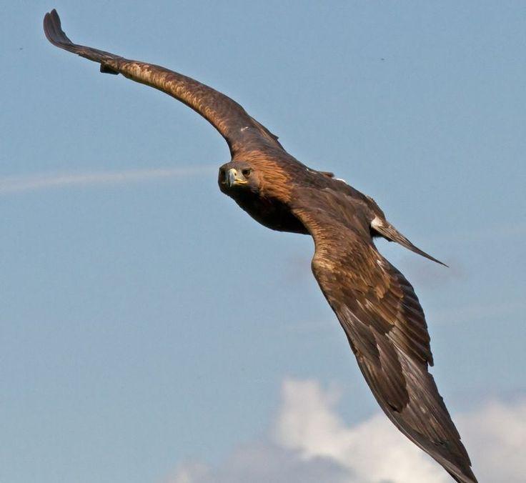 aigles donnent des ailes daigle animaux oiseaux aigles nationaux aigles faucons hiboux lifeteams eagles give z animals eagles real iberica