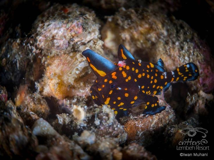 With popping colors and intricate markings this juvenile Frogfish is truly a star of Lembeh and a rare and sought after find.  Juvenile Painted frogfish Variation (Antennarius pictus) - Photo by Iwan Muhani #StarofLembeh #Lembeh #Diving #Underwaterphotography
