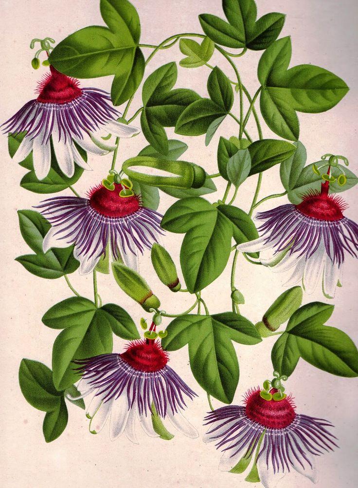 Maracujá! Olímpia Reis Resque: Viajantes: Passifloras.