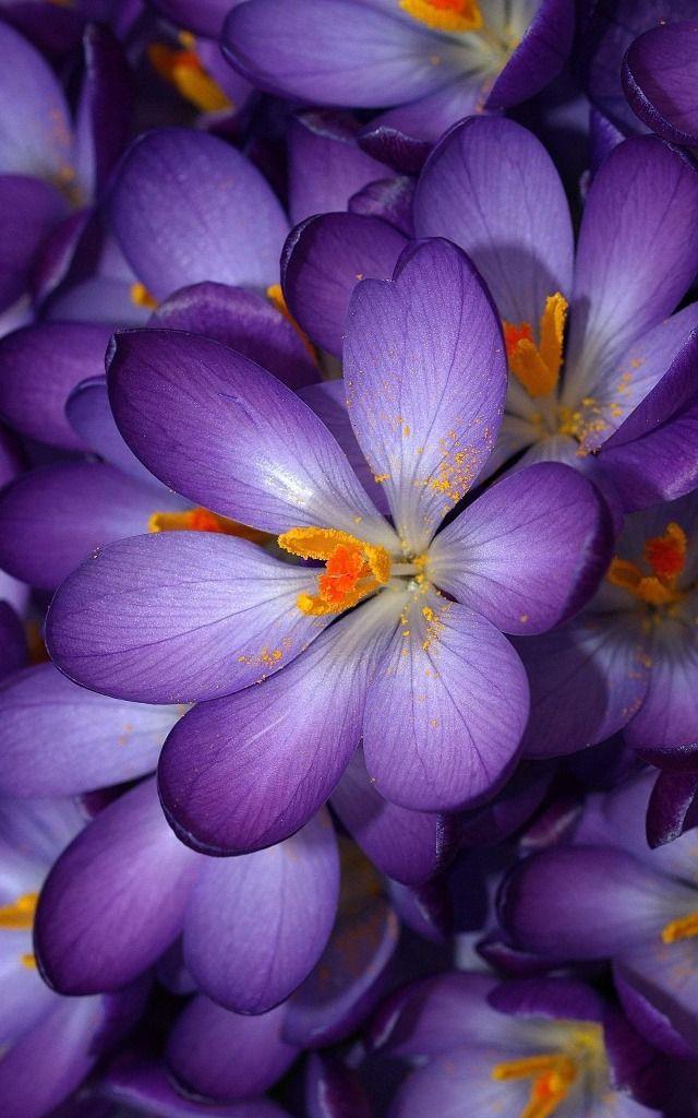 17+ best ideas about Purple Flowers on Pinterest | Purple ...