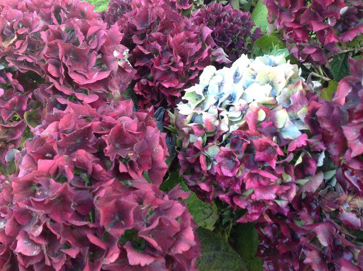 Purple Mophead Hydrangeas