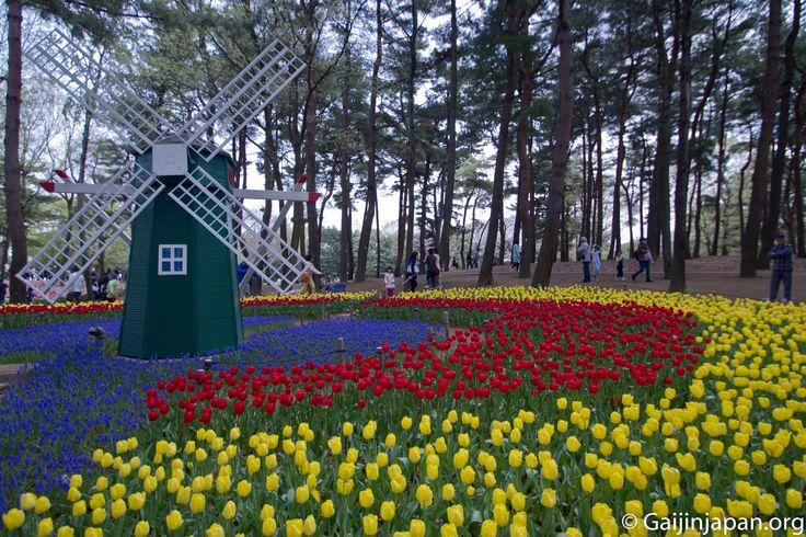 Des tulipes, en veux-tu, en voilà au sein du Hitachi Seaside Park dans la préfecture d'Ibaraki au Japon.