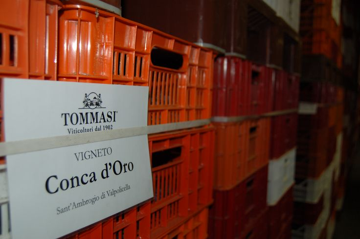 The grapes of Conca d'Oro Vineyard in the drying loft in Tommasi winery www.tommasi.com