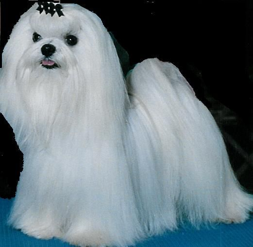 Maltese puppies for free adoption Maltese dogs, Teacup