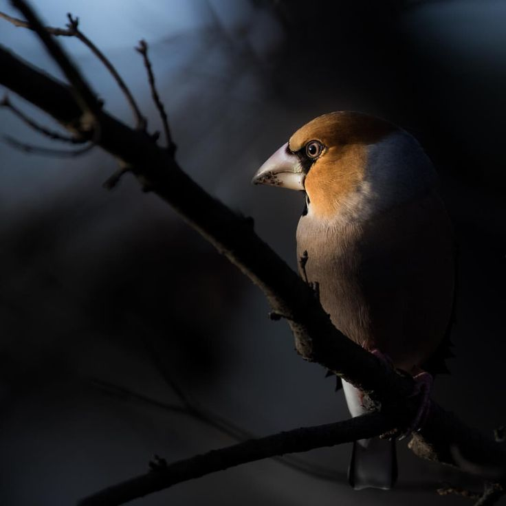 "2,155 Likes, 106 Comments - TJP | Wildlife (@tjp_wildlife_photography) on Instagram: ""Hawfinch . . . #wildlife #keepitwild #naturephotography #bird #birding #birdsofinstagram…"""