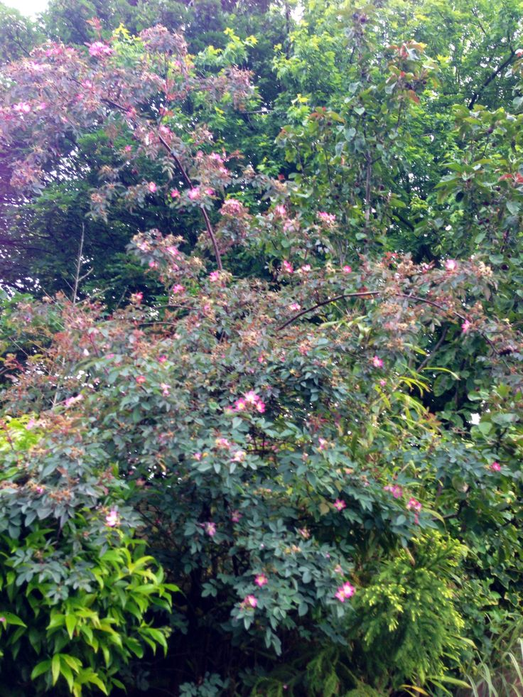 Rosa Glauca June 2014