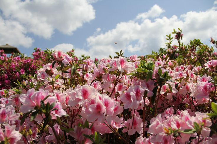 Happy Springtime! If you're wondering when, where and which flowers bloom in Okinawa - this month by month guide of festivals and fields is just for you!