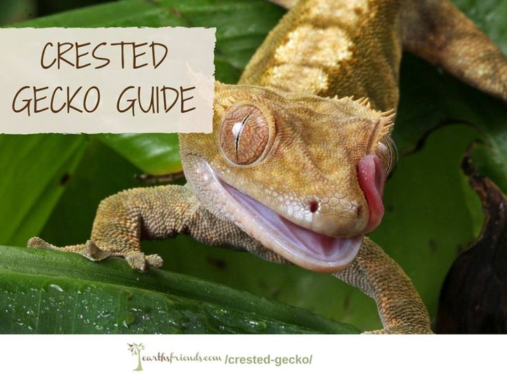 Meet The Crested Gecko: Its Origin, Its Important in The Ecosystem, Why They Make Great Pets, Diet, Behavior & More
