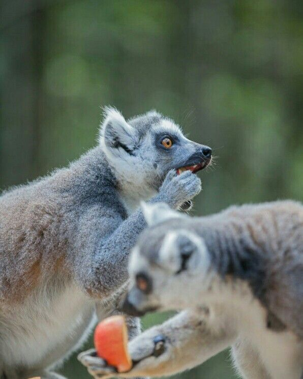 Check out the latest blog by our photography and travel writing field specialist, Amanda Robbins... this one features the charismatic lemurs at Cango Wildlife Ranch. Our interns get the opportunity to visit the ranch during their time with us.  http://www.africa-media.org/meet-nation-king-julian-xiii/