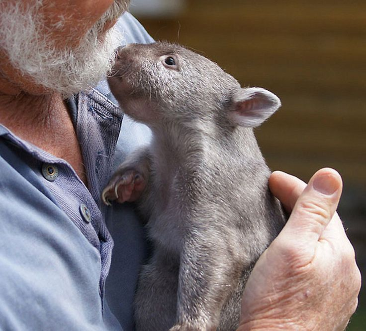 Baby Wombat: 17 Best Images About Baby Wombat On Pinterest