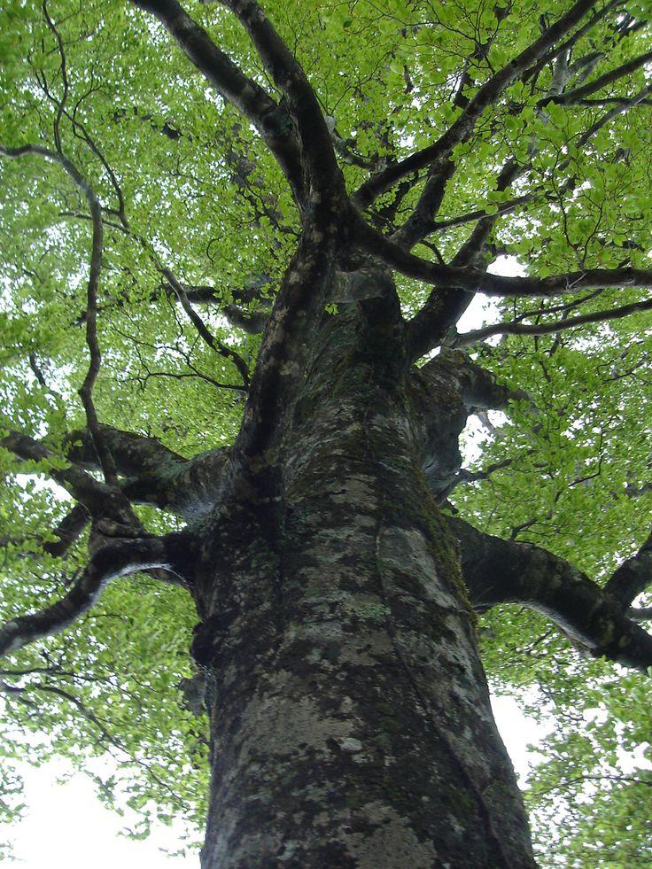 ブナの巨木 大台ケ原