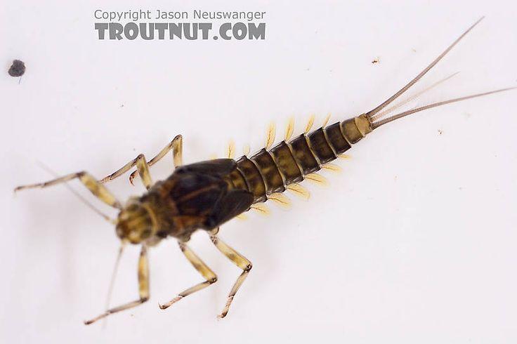 183 Best Fly Fishing Entomology Images On Pinterest