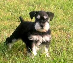 Image result for PICTURES OF COLORS OF STANDARD SCHNAUZERS
