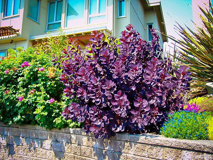 Royal Purple Smoke Tree Smoke Tree Purple Smoke Bush